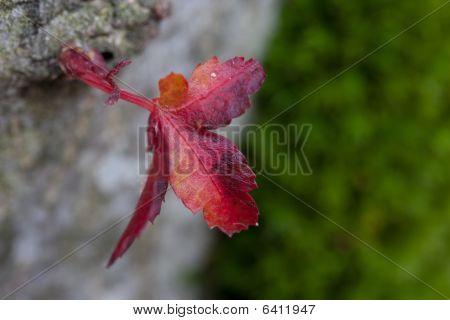 Macro Red Leaf
