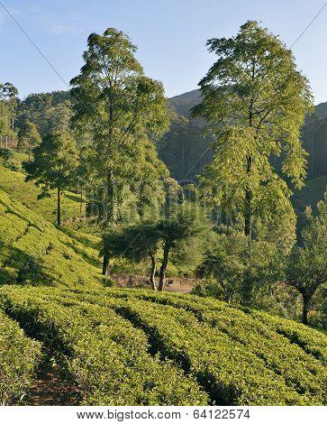 Tea plantation in the highlands of Sri Lanka