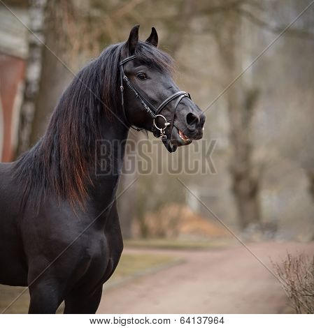 Portrait Of A Sports Black Stallion.