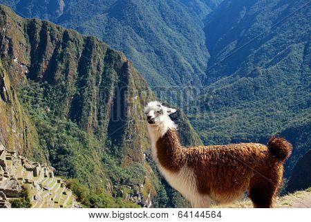 Llama Above Macchu Picchu