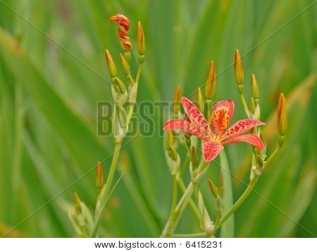 Blackberry lily close-up