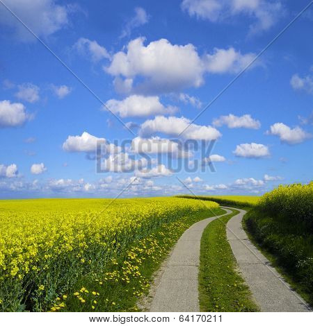 agrarian road in canola field
