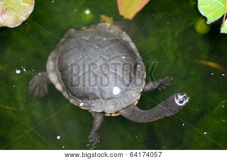 Short Neck Turtle