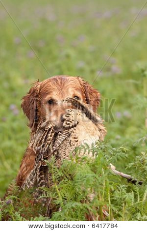Golden retriever retrieving a dead pheasant during the hunt poster