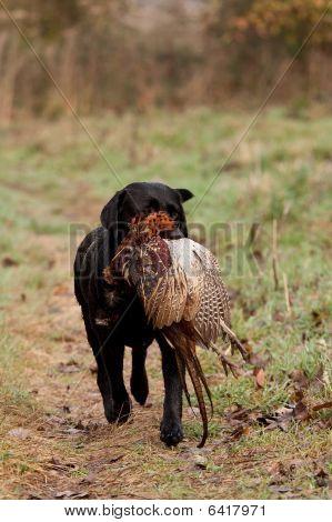 Hunting Dog Retrieving A Pheasant