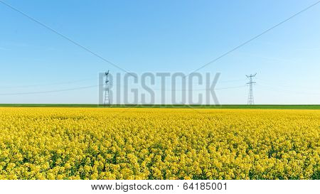 Photo Of Canola, Rapeseed Flower