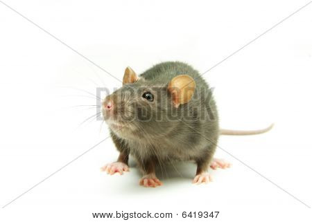 funny rat isolated on a white background poster