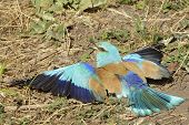 European Roller (Coracias garrulus) taking a sandbath for cleaning his feathers poster