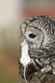 A rehabilitated but not able to be released to the wild female Barred Owl in captivity at Falconers home. poster