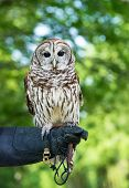 Barred Owl (Strix varia) aka Rain Owl Wood Owl or Striped Owl natural green background poster