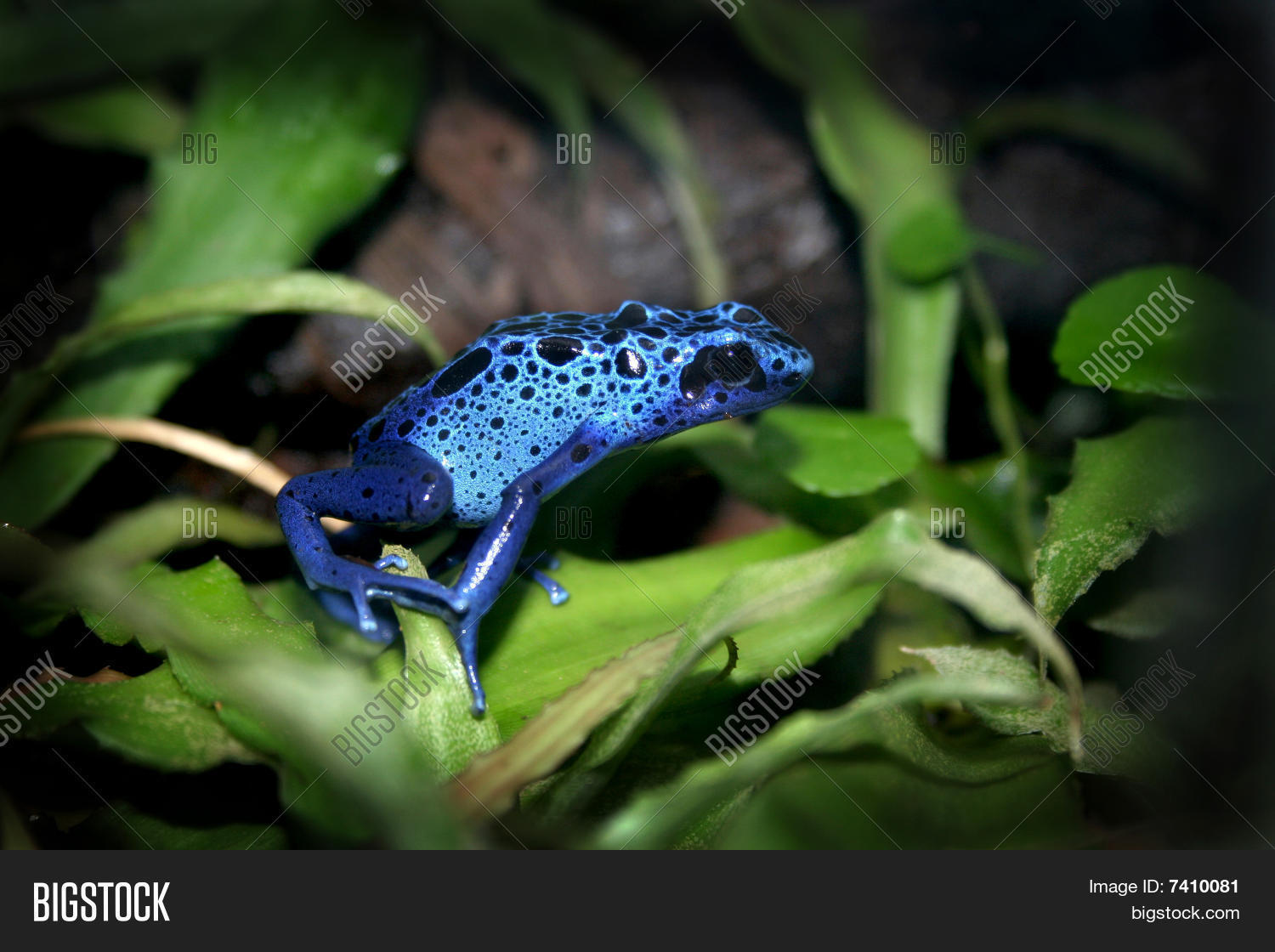 Blue Poison Dart Frog Image Photo Free Trial Bigstock