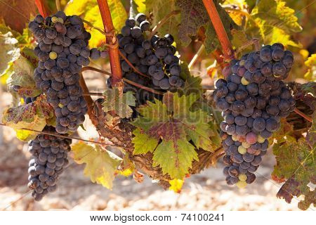 Bunches of tempranillo grapes in the Rioja region of Northern Spain, approaching harvest time. poster