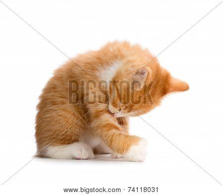 Cute Orange Kitten Bathing on White Background