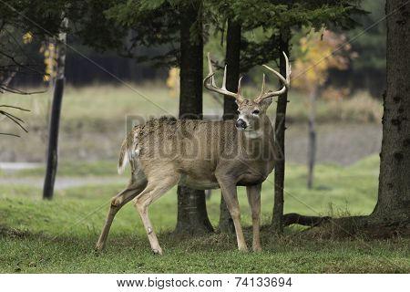 A lone male buck deer