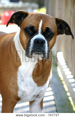 boxer closeup