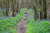 path in an english bluebell wood with a dog trotting on path poster