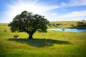 Herd of cows in a farmland with a lake pasturing at sunlight. poster