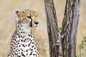 African cheetah looking for enemies and rests at the Savannah in Serengeti, Tanzania. poster