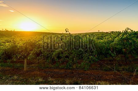 Wine Valley At Sunset