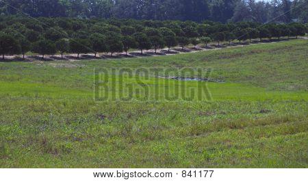 Long line of orange trees on hill