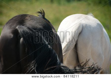 Two Black And White Horse Butts
