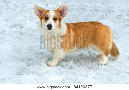 Cardigan Welsh corgi  stands in the snow. poster