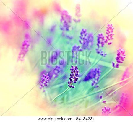 Soft focus on lavender flowers