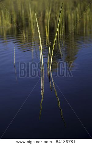 Reeds and reflection in still water