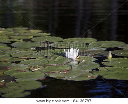 White water lily and lily pads in river