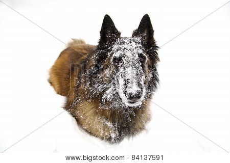 Dog Covered In Snow