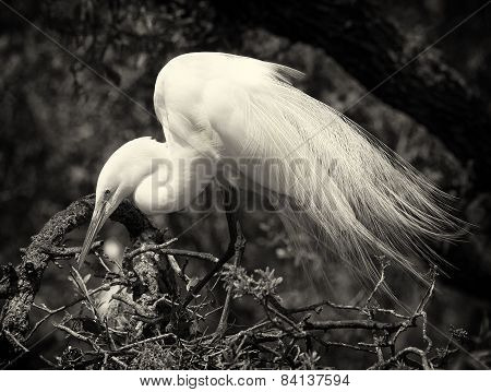 Snowy Egret And Baby In Nest--black And White