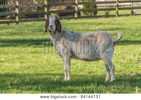 Goats in the Meadow