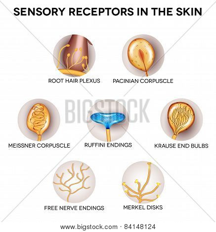 Sensory Receptors In The Skin