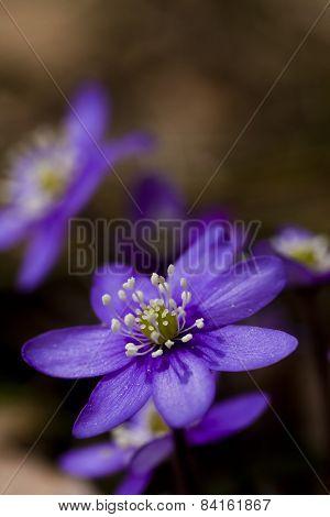 blue anemones