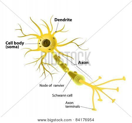 Motor Neuron, Detailed And Accurate, Labeled