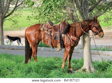 Horse Tethered Under The Trees