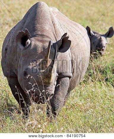 2 White Rhino - Mother & Calf