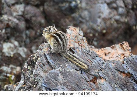 Tiny Chipmunk In A Lava Field