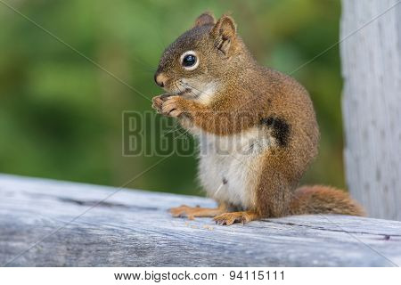 Closup Shot Of A Red Suirrel Eating