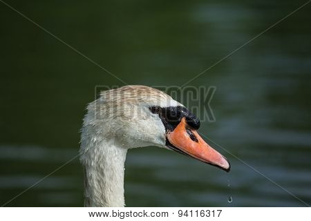 Mute Swan Close-up With Water Dripping From The Beak
