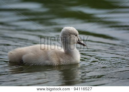 A young Mute swan (Cygnus olor) cygnet swimming on the surface of a pond.