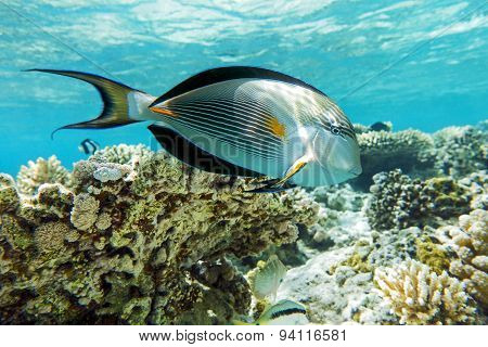 Sohal surgeonfish (Acanthurus sohal) with coral reef.