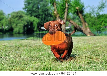 Dog breed standard smooth-haired dachshund, bright red color.