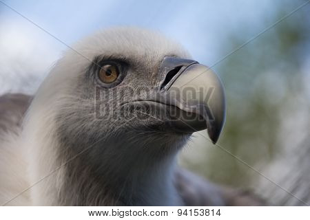Headshot Of Young Griffon Vulture