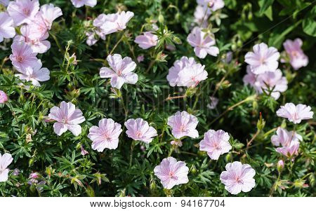Light Pink Blooming Crane's Bill From Close