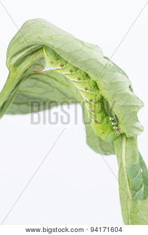 Tobacco hornworm Manduca sexta on underside of tomato leaf is a common pest in gardens. poster