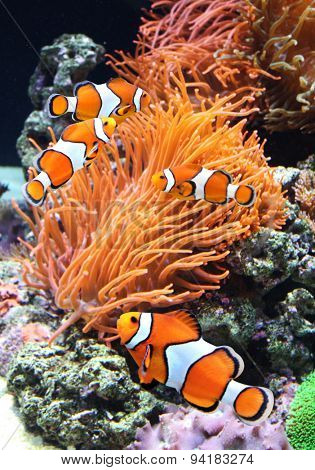 Sea anemone and clown fish in marine aquarium