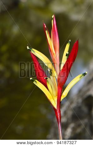 A view of a Heliconia psittacorum flower poster