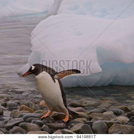 Gentoo Penguin Teen Playing by Himself in Antarctica