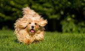 Happy orange havanese dog is running fast towards camera in the grass poster